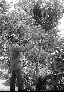 Photograph of Alfred Watkins catching a swarm of bees in a basket on a pole