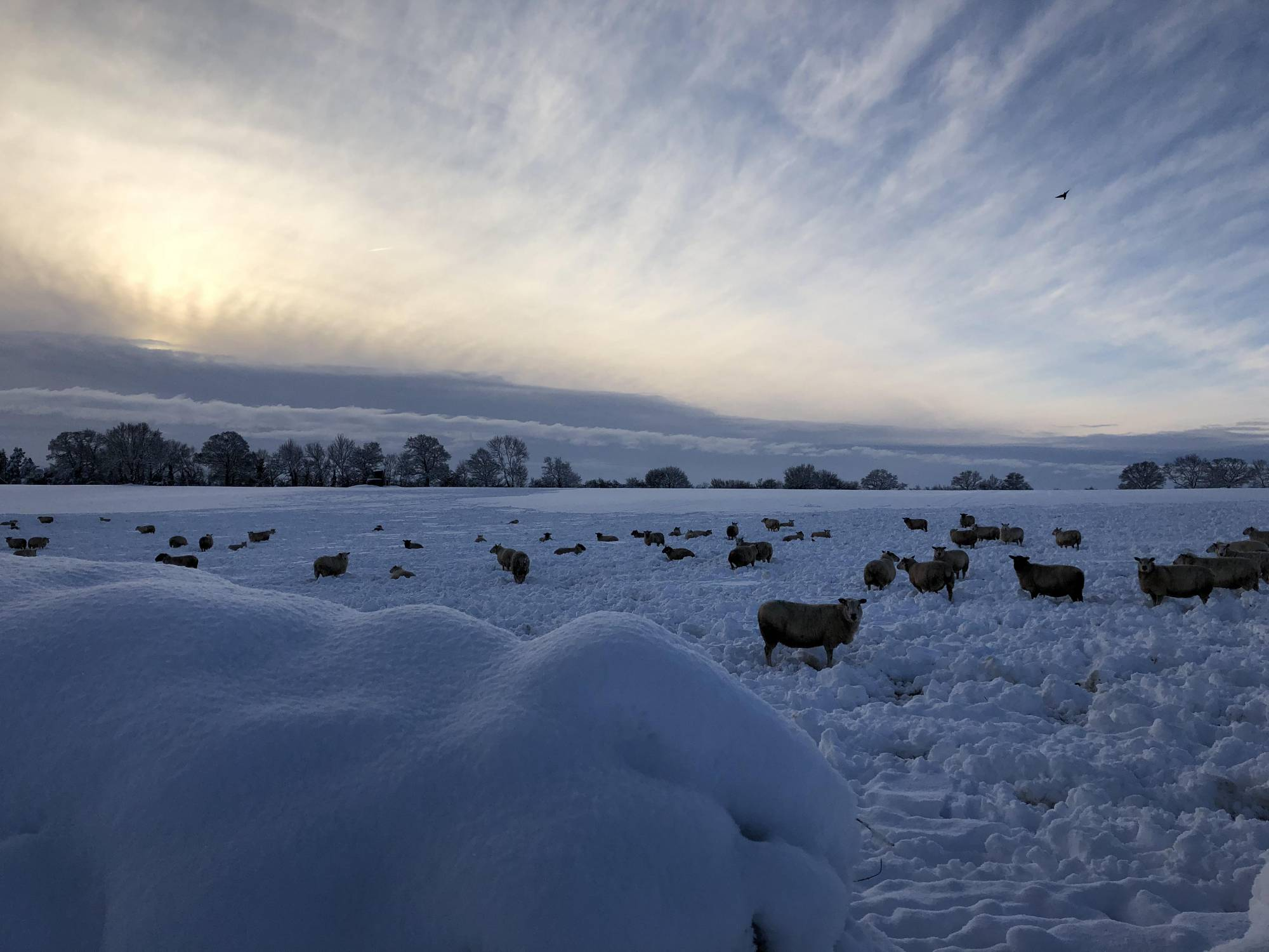 Sheep in the snow in Herefordshire