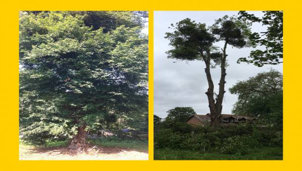 Photo of felled lime tree before and after