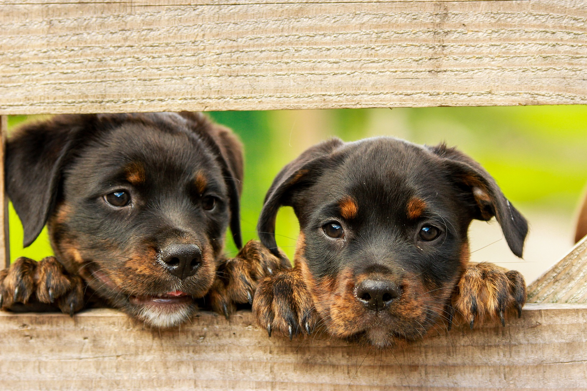 Photo of two rottweiler puppies